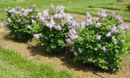 Miss Kim Lilac shrub quart pot image 4