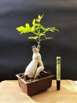 "Bonsai ""Love tree"" - Brachychiton tree - Natural bonsai - 15 years old plant - $29.50"