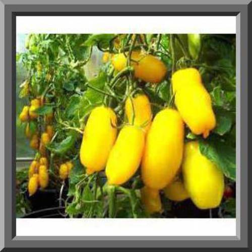 BANANA LEGS Tomato Seeds! Perfect for salads - Low acid Comb. S/H See our store!