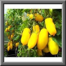 BANANA LEGS Tomato Seeds! Perfect for salads - Low acid Comb. S/H See ou... - $15.48