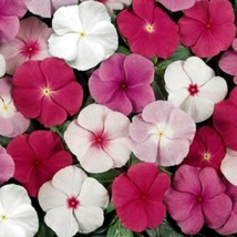 Miixed Vinca Seeds, Mixed Periwinkle Seeds, Non-Gmo Heirloom Flower Seeds. 50ct - $14.39
