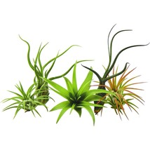 Hot Sales 5 Pack Rare Air Plant Tillandsias plant by US Gardens Live Hou... - $13.99