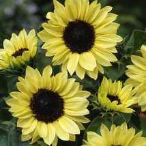 100 Seeds Sunflower Moonshine - $12.98