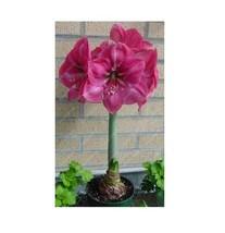 HAPPY FLOWER 2 Bulbs BANDUNGREJO True Hippeastrum Rutilum Amaryllis Love... - $1.78