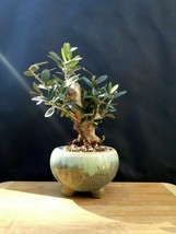 Miniature Olive tree Bonsai - very old plant - From the private collection - $191.02