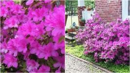 Autumn Royalty Purple Encore Azalea - Live Plant - Full Gallon Pot - $85.95