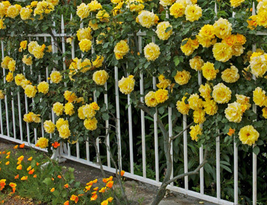 50pcs Very Wonderful Yellow Short Climbing Rose Seeds IMA1 - $14.15
