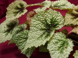 "Begonia Plant Masoniana Tricolor Iron Cross 4"" Pot Rhizomatous - $9.50"