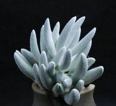 Rare Succulent Plants Senecio haworthii cocoon 3 Fresh Succulent Cuttings - $21.80