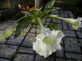 Brugmansia Sunset Variegated | Quart Plant FREE SHIPPING - $32.66