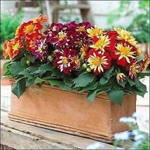 Dahlia Dandy Mix Flower Seeds (Dahlia Variabilis Dandy) 30+Seeds - $5.92+