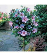 Rose of Sharon Tree Hibiscus syriacus 1 to 2 feet Tall Live Tree - $29.70