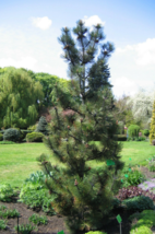 5 Pcs Seeds Bosnian Pine Pinus Heldrechii Tree - DL - $16.00
