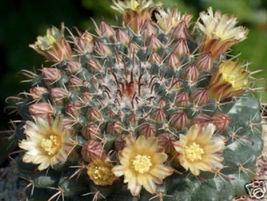 Mammillaria uncinata @@ cacti rare cactus seed 20 SEEDS - $18.00