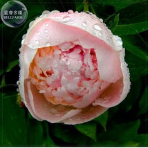 BELLFARM Bonsai Peony Light Pink Perennial Flower Seed 5pcs Double Petals - $2.71