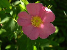Swamp rose 2 thumb200