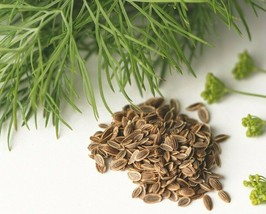 SHIP FROM US 500 DILL LEAFY SEEDS HERB SPICE VEGETABLE HEIRLOOM NON-GMO ... - $11.56