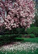 Saucer Magnolia Soulangeana gallon pot image 3