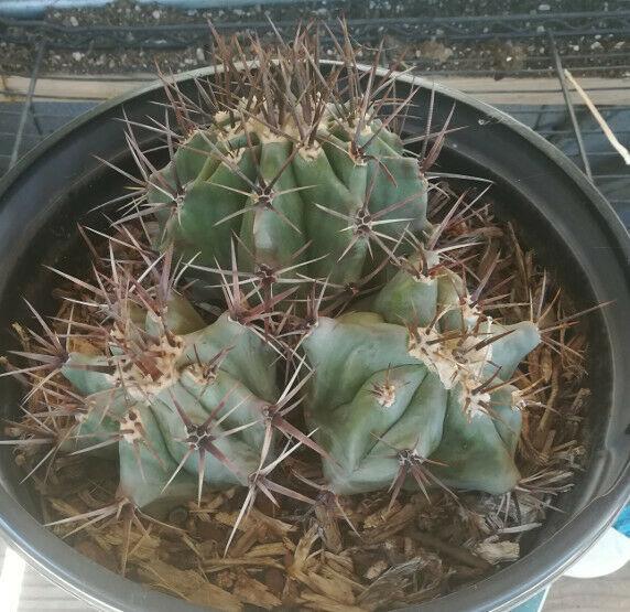 Echinocactus palmeri ingens 3 Heads Big Barrel Cactus 124