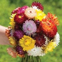 Sultane Mix Strawflower Seed, Apricot Flower Seeds - $21.00