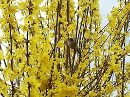"2 Forsythia Lynwood Gold-""Golden Bells"" bare root image 5"