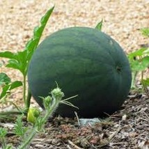30 Watermelon (Sugar Baby) Seeds - $6.93