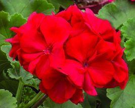 15 Seeds - Geranium Ringo Deep Red Flower - $10.79