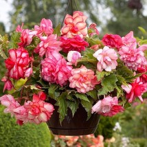 Begonia PINK Balcony (2 Bulbs) Fragrant blosssoms from summer to frost - $21.90