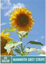 25 + Sunflower Mammoth Grey Stripe Flower Seeds | FROM US - $5.50