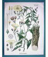 SCAMMONY Flower Convolvulus Scammonia - Beautiful COLOR Botanical Print - $28.69