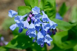 Virginia Bluebell 10 roots native wild flower shade lover (Mertensia) - $24.99