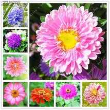100pcs Chinese Optional Rare Color Aster Flower Seeds Perennial Bonsai - $2.18