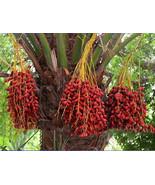 Date Palm Phoenix Dactylifera Tree Seed, 20 pcs Seeds - $12.00
