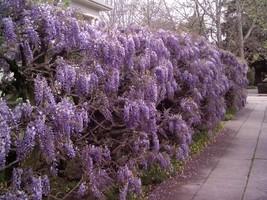Purple Wisteria image 1