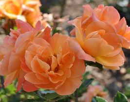 Star Climbing Rose Bush Starter Plant - Tangerine Skies - Ships Without Pot - $70.00