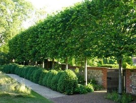 American Hornbeam tree (Carpinus caroliniana) quart pot image 1