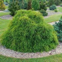 Japanese False Cypress Tree Seeds (Chamaecyparis pisifera) 50 Seeds - $12.99