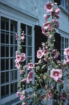 20 Huge Tall Hollyhock Flower Seeds - $4.99