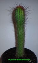 Hildewintera,hybrid,'APRICOT GIANT',PLANT, Cleistocactus,Cactus,Echinopsis - $36.10