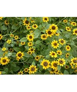 100 Zinnia Creeping Flower Seeds Sanvitalia Procumbens - $10.88