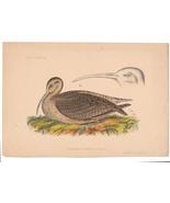 1856 Numenius Tahiticus Curlew Cmdre Perry Japan Expedition Wm Hitchcock... - $19.95