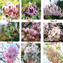 135 Seed 9 Colors Cherry Blossom Flower Seeds, DIY Beautiful Tree DO - $22.99