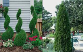"25 EMERALD GREEN Arborvitae 3""pot - (Thuja occidentalis) image 1"