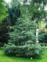 20 White Spruce Tree Seeds - Picea glauca Seeds ~ Free Shipping - $7.78