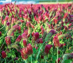 5 Variety Very Lovely Crimson Clover Cover Crops Fresh Seeds #TLM1 - $17.99+