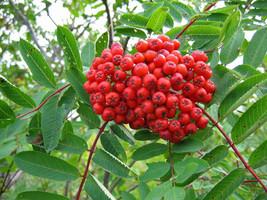 SHIPPED FROM US 40 Ash Tree Mountain / Amur / Rowan Sorbus Aucuparia See... - $19.00