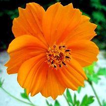 100 Cosmos Orange Flower Seeds Cosmos seeds - $4.99