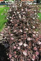 Crimson Diabolo Ninebark 2 plants Shrub image 2