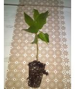 Jamaican Cherry aka Strawberry Tree Muntingia calabura  1 rooted cutting - $18.88