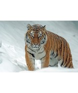 Tiger in the Snow -  Art Picture Poster Photo Print 4CAT - $14.99+